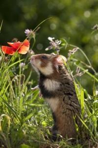 Hamster Commun