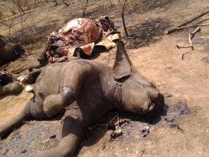 Éléphants massacrés pour leurs défenses, elles sont généralement arrachées à la hache alors que l'animal est encore vivant